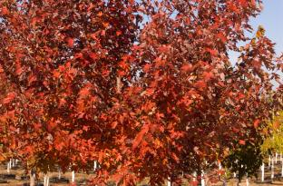 Autumn Blaze Maple Acer X Freemanii Jeffersred Nice Guys Nursery